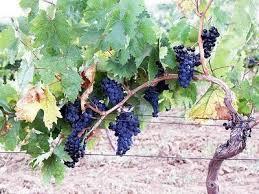 Branch on Vine