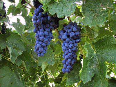 grenache_grapes